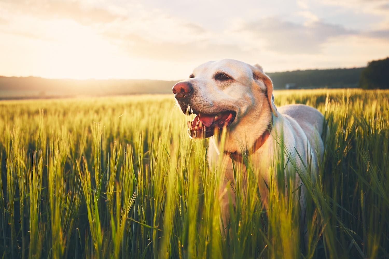 Ljus labrador på öppet fält i motljus