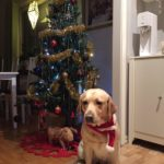 Chanti vid julgranen. En ljusgul labrador och i bakgrunden en välpyntat gran inomhus.