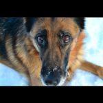 Idas första ledarhund, schäfertiken Lana. Hunden har gulsvart päls och tittar in i kameran.