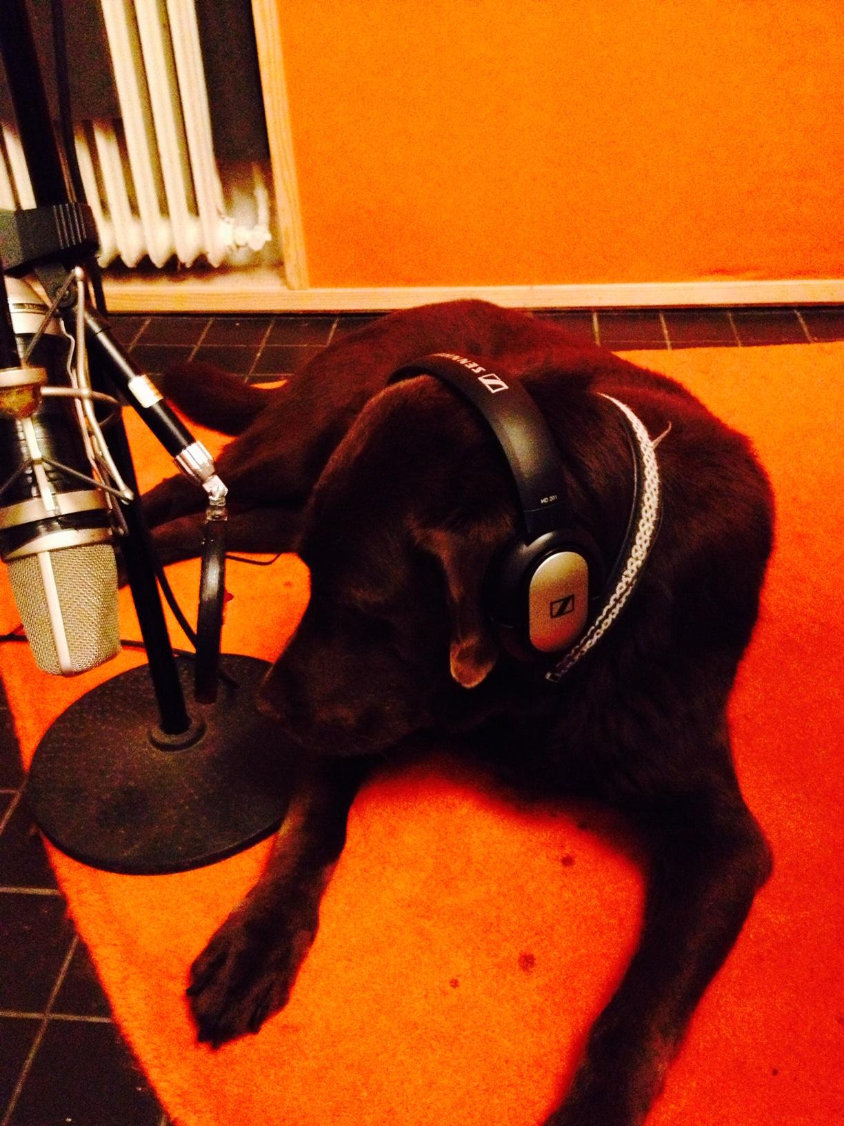 Brun labrador med hörlurar i radiostudio