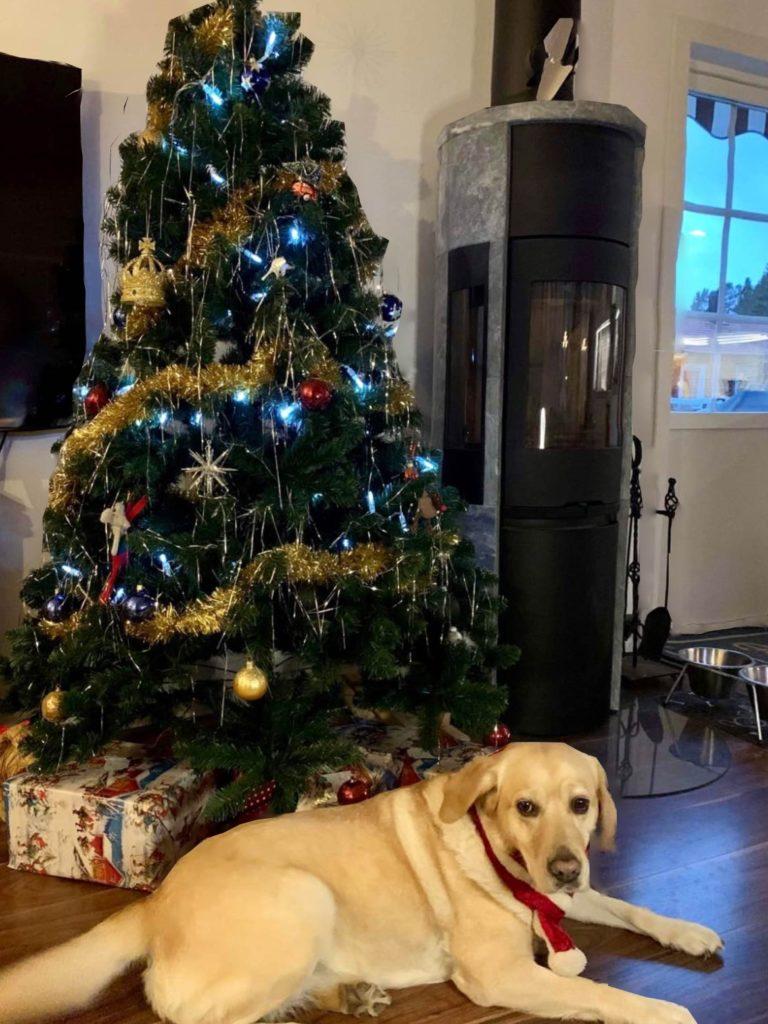 Min ledarhund Chanti, en ljus labrador, ligger vid granen hemma hos mig. Chanti har ett rött band runt halsen. I bakgrunden syns en fullt pyntad julgran i grönt, silver, rött och gult. Under granen ligger flera stora paket. Man ser även en kamin, mörkt trägolv, vita väggar och en dörr med glasfönster.